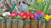 image of primrose  - wooden border with colorful primroses and gardening tools  - JPG