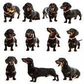 picture of dachshund  - photo collage dachshund on a white background - JPG