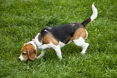 picture of foxhound  - watchful american foxhound dog in a grass field - JPG