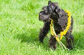 pic of schnauzer  - Decorated Black Miniature Schnauzer Dog Standing on Grass - JPG