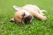 foto of french bulldog puppy  - little sleeping French bulldog puppie lying on a beautiful green grass - JPG
