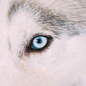 image of puppy eyes  - Close Up On Blue Eye Of A Husky Dog Puppy - JPG