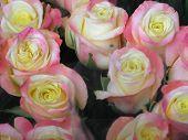 picture of rose close up  - A close - JPG