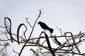 image of raven  - A Raven sits on a branch and caws - JPG
