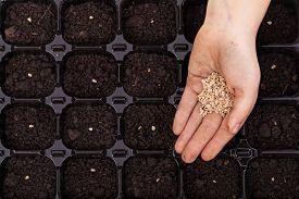 foto of germination  - Hand spreading seeds into germination tray  - JPG