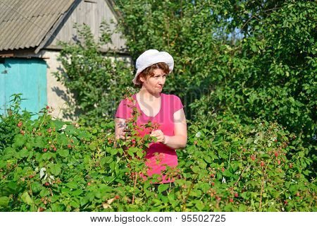 Woman Reaps A Crop Of Raspberries In The Garden
