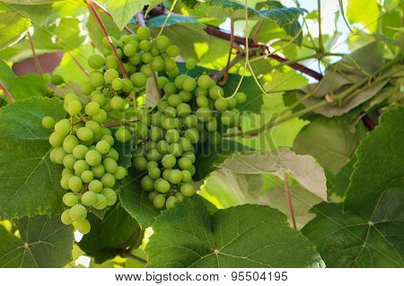 Bunch of green unripe grapes