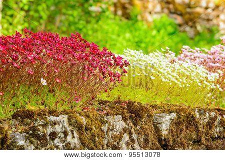 Sedum Plants In Bloom