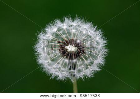 Closeup Of Beautiful Dandelion Flower