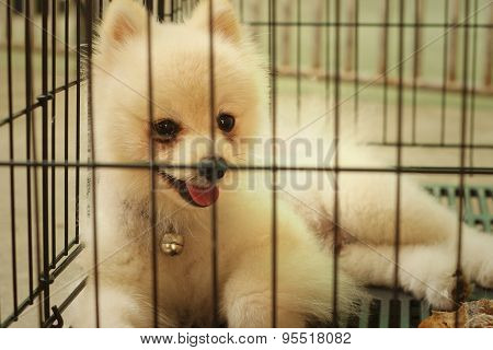 Pomeranian Puppy In A Cage At The Park