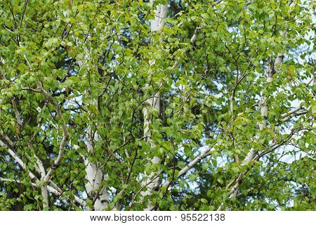 White Birch Allergen