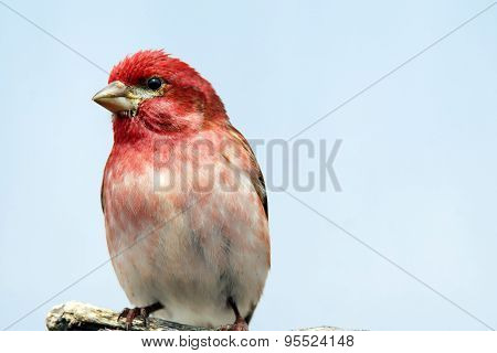 Perched Male Purple Finch