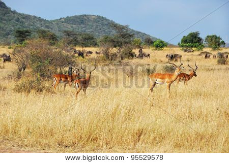 African Wildlife. Gazelles