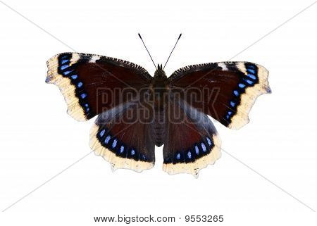 The Mourning-cloak Butterfly