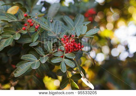 Brazilian Pepper, Aroeira, Rose Pepper, Christmasberry Tree