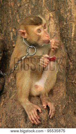 Cuty Monkey