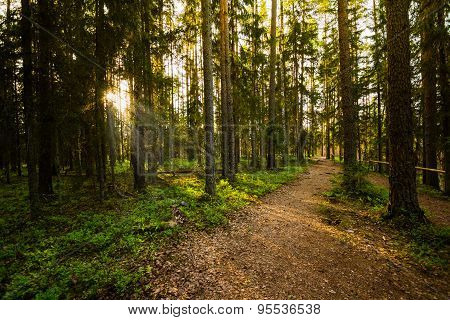 Evening in the Forest