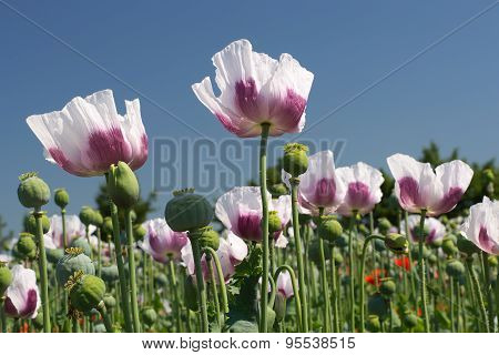 White Opium Poppy Field