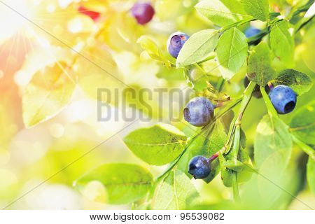Juicy blueberries with green leaves on background of sunlight
