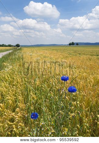 Three cornflowers in a grain field