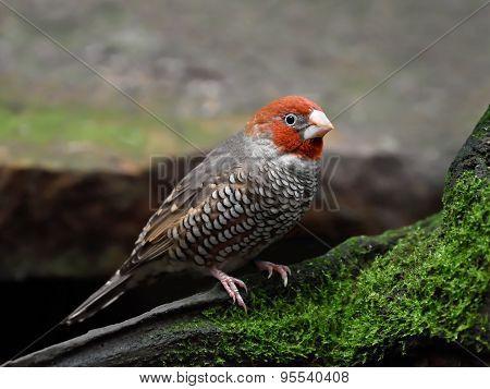Red-headed Finch (amadina Erythrocephala)