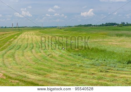 Mowed hay with storks on a water-meadow