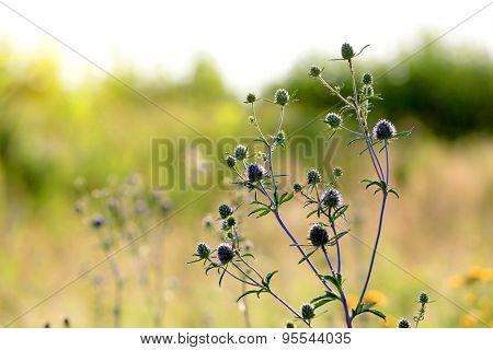 wild flower at summer time - soft photo