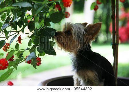 Yorkie flower lover