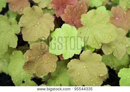 Colorful coral bell leaves