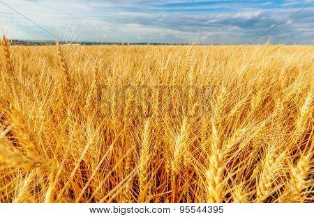 Wheat Ears And Cloudy Sky