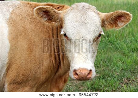 Tan and White Cow