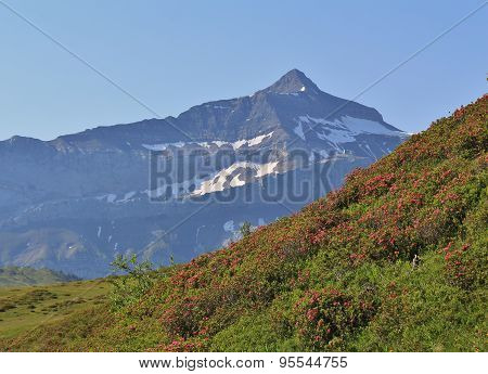 Peak Of The Oldenhorn And Meadow With Alpenrosen