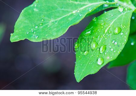 Isolated Green Leaf With Waterdrops