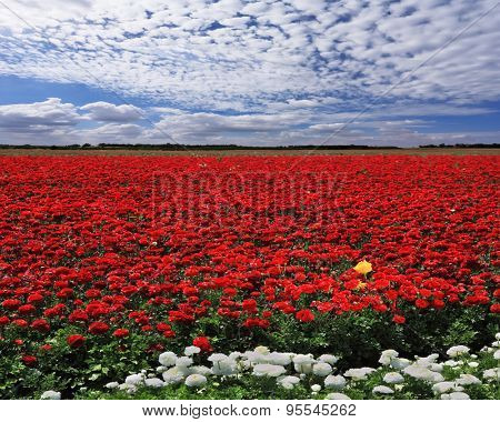 Spring in the fields of Israel. Huge field of red garden buttercups for export