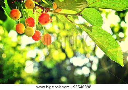 Cherry tree in the sunny garden.