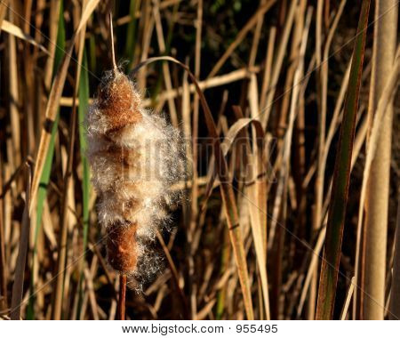 Cattail Going To Seed