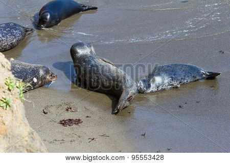 Baby Seal And Its Mother