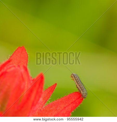Caterpillar on a Red Flower