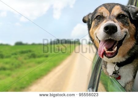 poster of German Shepherd Dog Sticking Head Out Driving Car Window