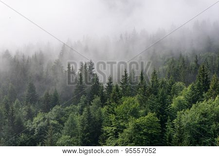 Evergreen Forest Overview - Tops of Tall Green Trees with Dense Fog Rolling In Over Lush Wilderness