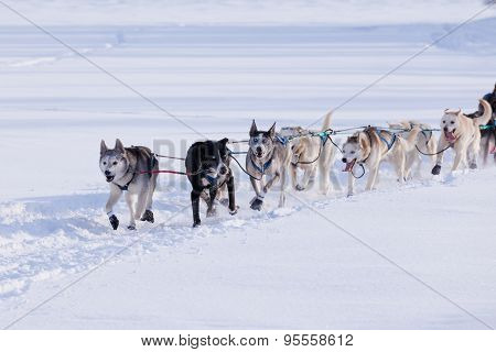 Enthusiastic Sleigh Dog Team Pulling Hard