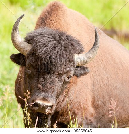 Wood Buffalo Bull Bison Bison Athabascae