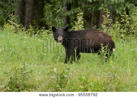 Young American Black Bear Forage Green Meadow