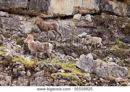 Stone Sheep Ovis Dalli Stonei Family