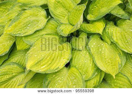 Yellow Wet Hosta Leaves Background