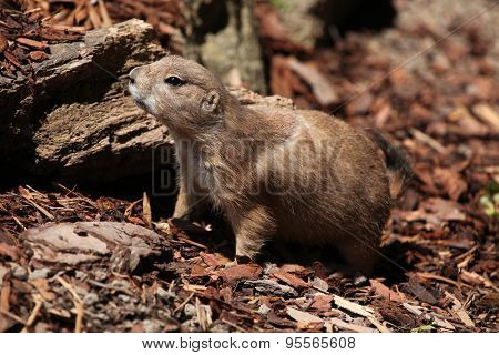 Black-tailed prairie dog (Cynomys ludovicianus). Wild life animal.