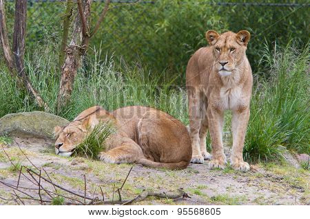 Large Lioness In Green Environment