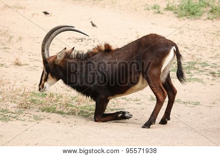 Sable antelope (Hippotragus niger), also known as the black antelope. Wild life animal.