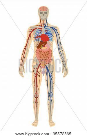 Illustration human anatomy of man on white background