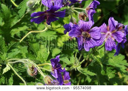 Honeybee in a blue mallow